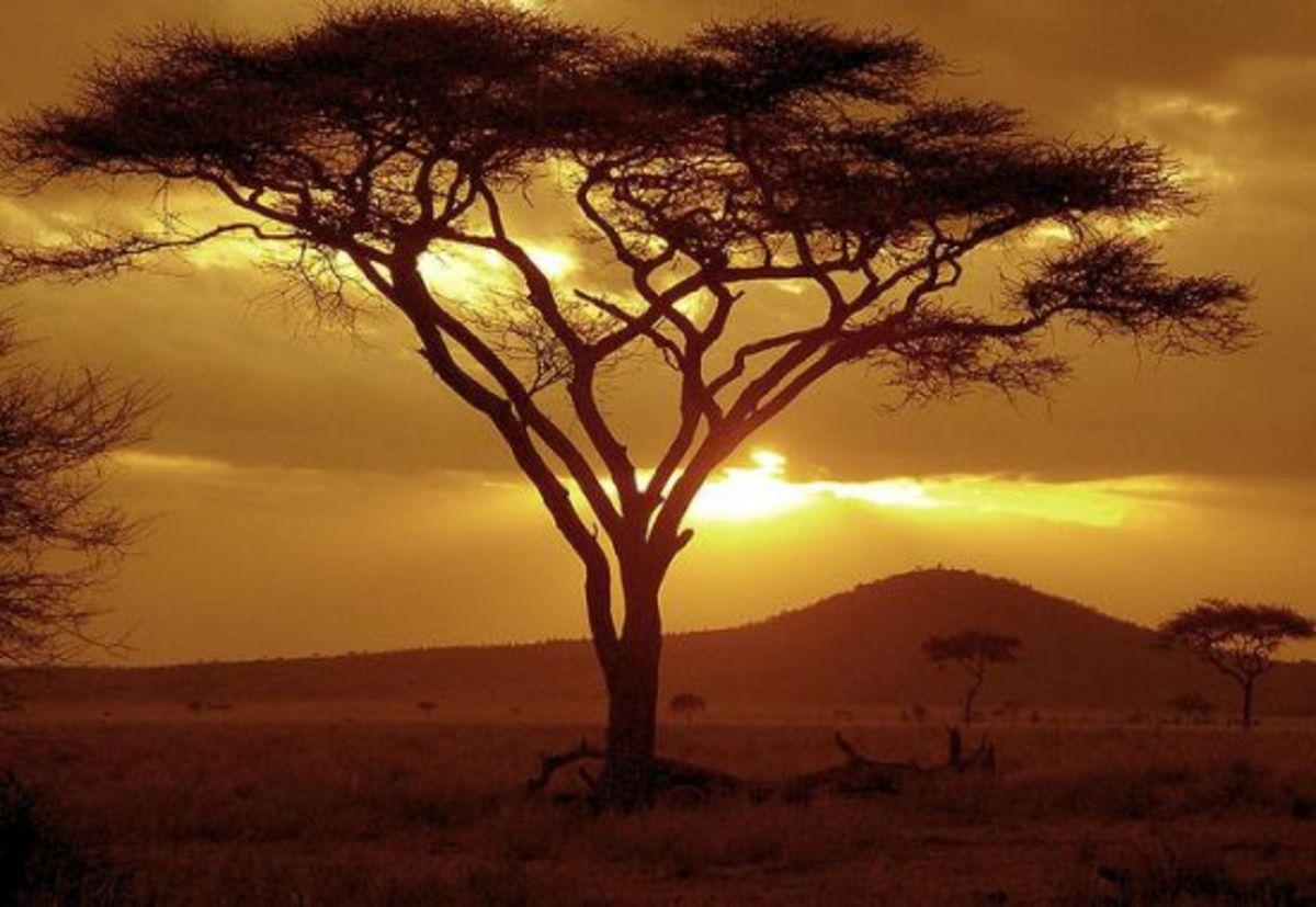 acaciatree-ccflcr-NeilsPhotography