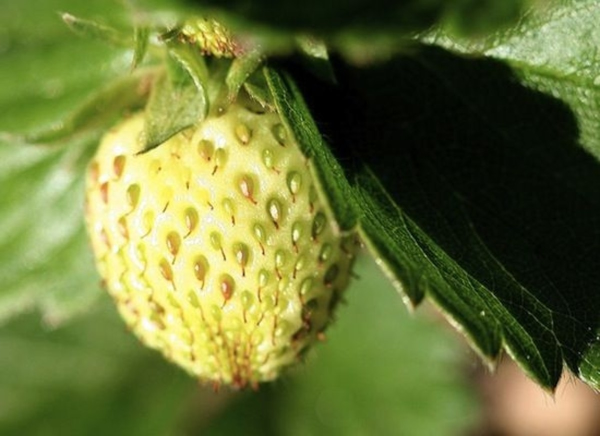 green-strawberry-ccflcr-John-Morgan
