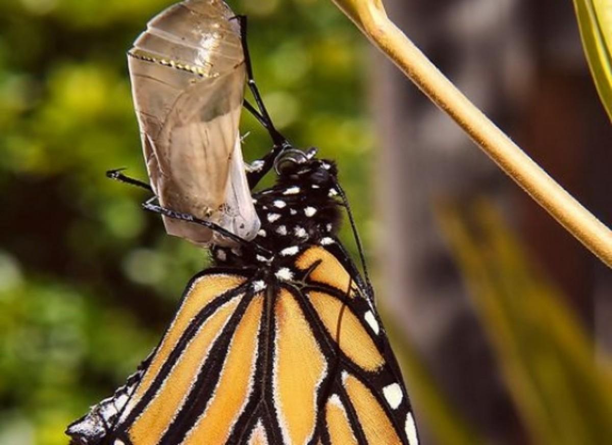butterfly-ccflcr-sidpix