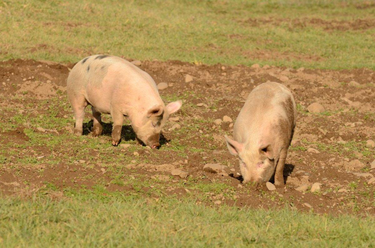 rooting hogs