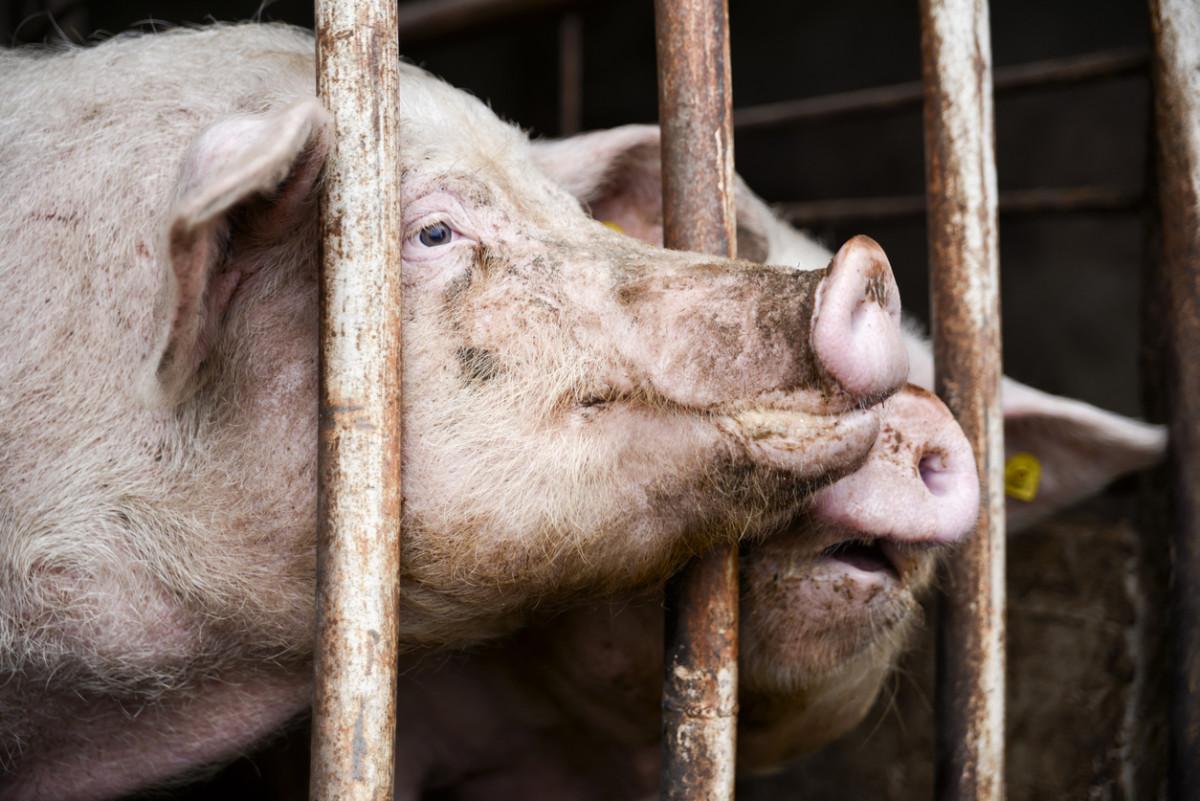 North Carolina Hog Farmers Get Free Pass to Pollution
