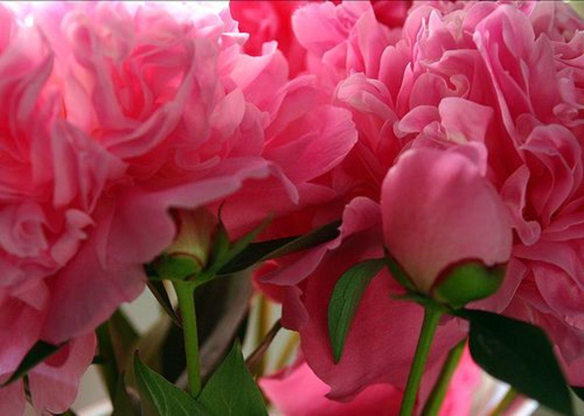pinkpeony-ccflcr-andrewmorellphotography