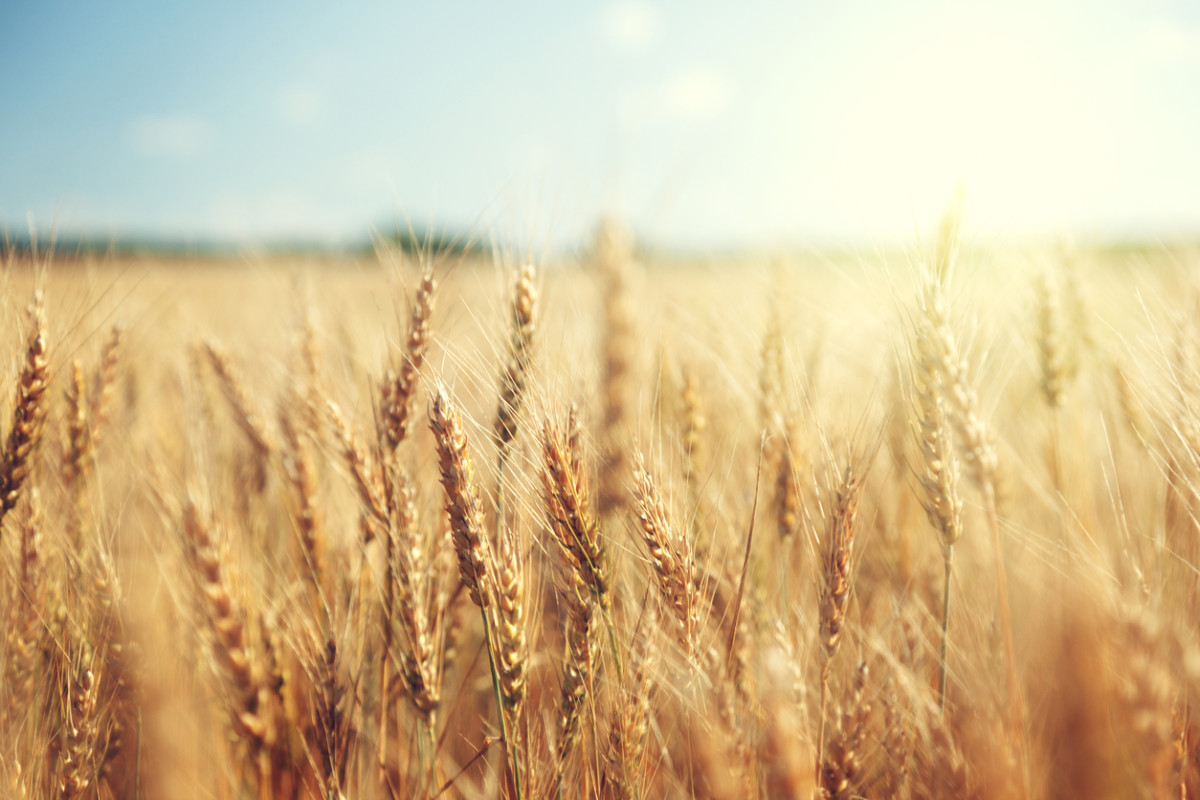 Global Warming is Leeching Protein From Key Crops