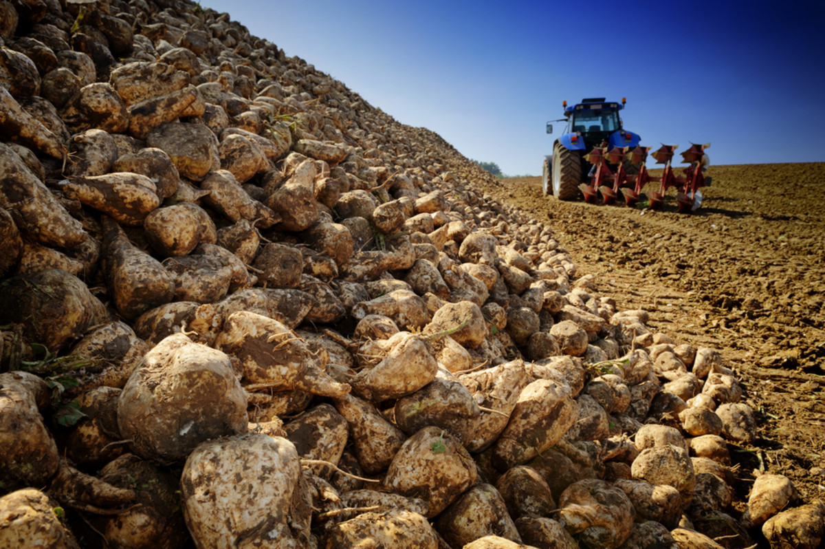 America Shuns Sugar Beet due to GMOs, Beet Growers Scramble to Regain Loyalty