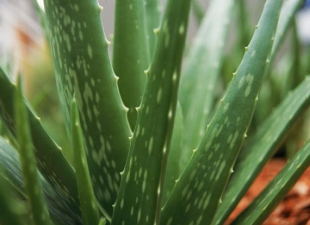 Aloe Vera is a useful houseplant.