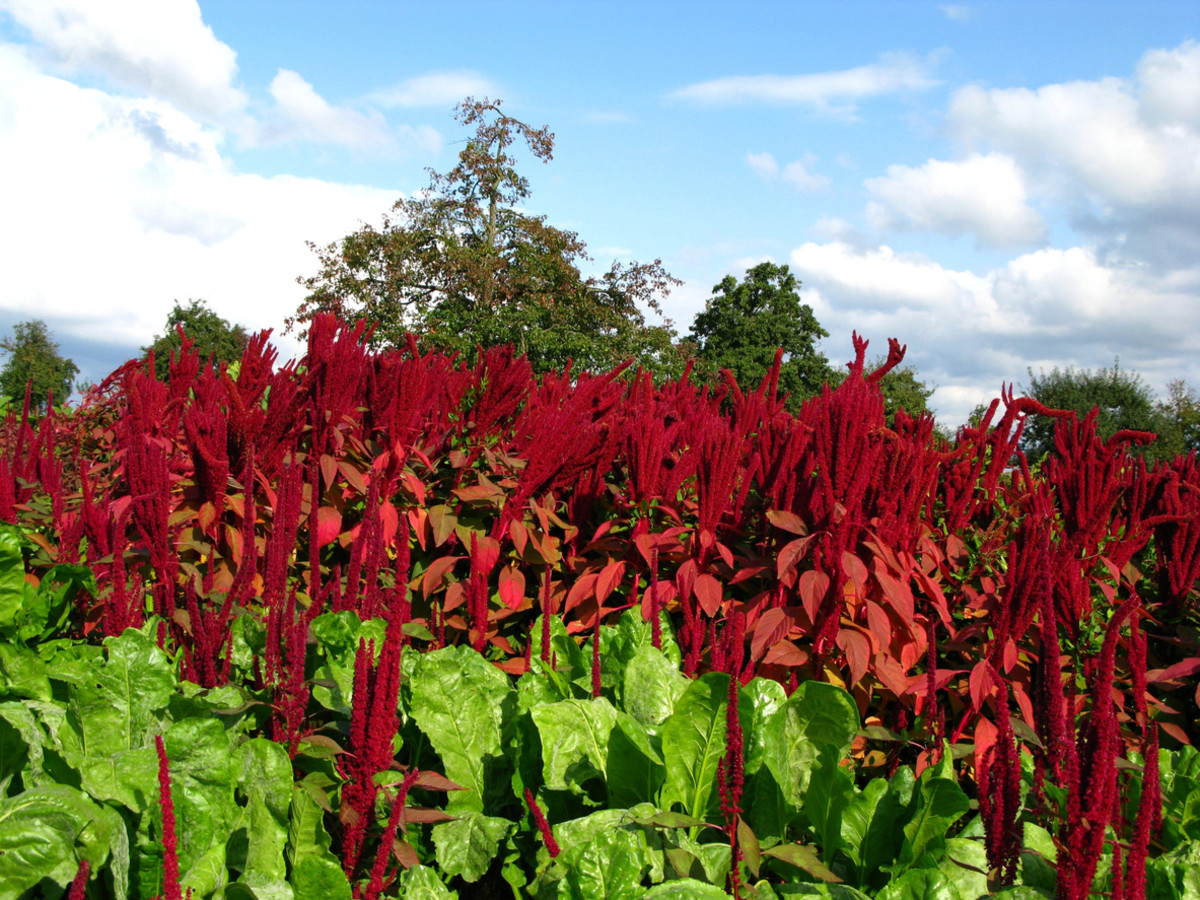 7 Reasons Amaranth Leaves are the New Kale