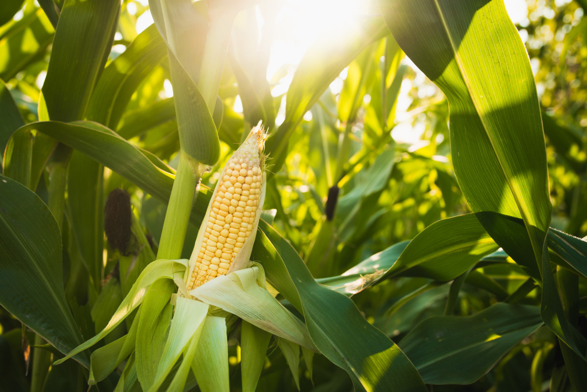 New Research Debunks Controversial Séralini Study on GMO Corn