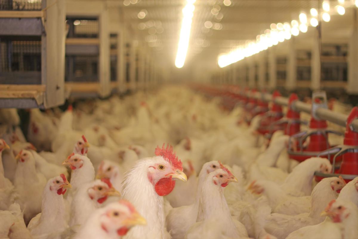Pilgrim's Pride Lies About Chicken, Says HSUS