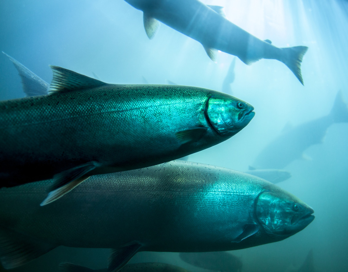 FDA Approves GMO Salmon for U.S. Distribution