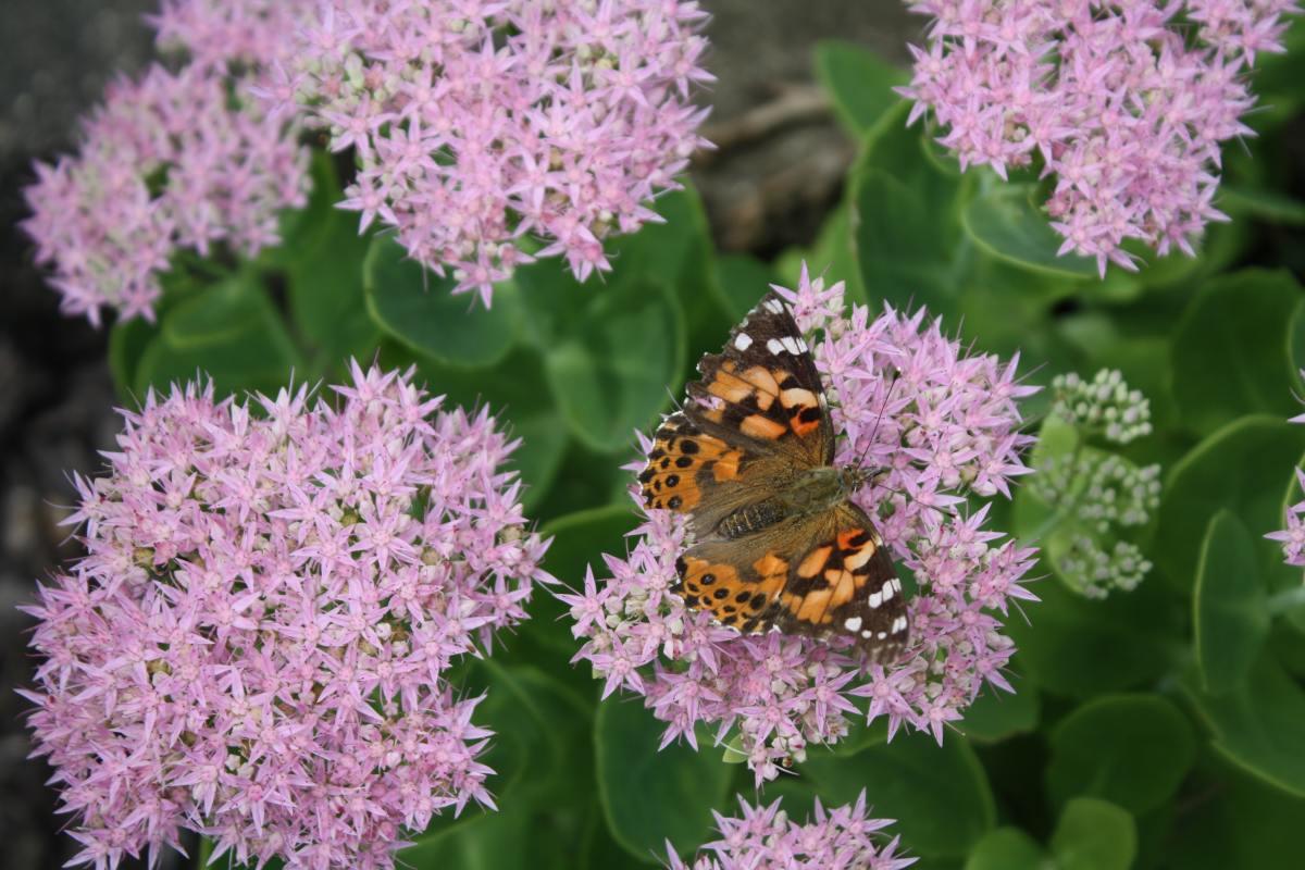 butterfly on blackjack sedum flowers